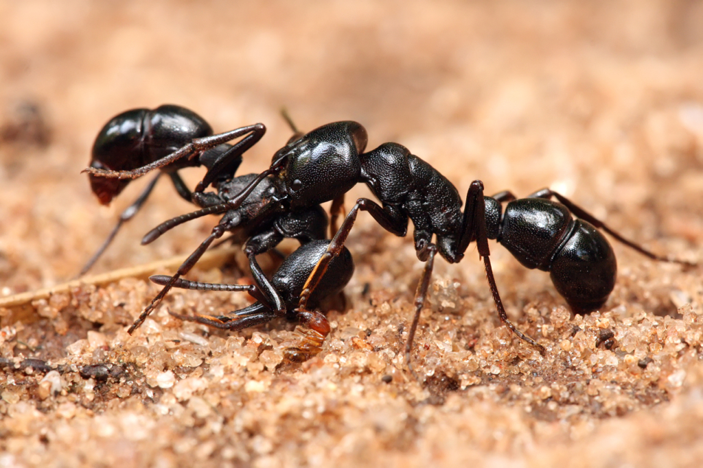 Ant Bites and Treatment