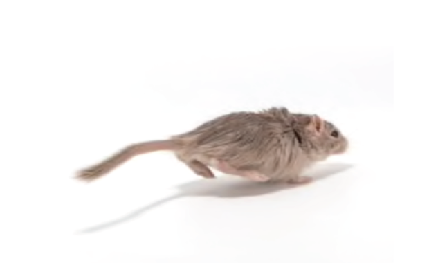 Are You Tired of Mice Running Inside Your House? Look for 4 Best Pest Control for Rats Solutions!
