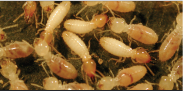4 Ways to Control Termites Growth in Your House 2019